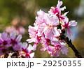 クローズアップ 樹木 樹の写真 29250355