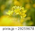 ハナナ 菜の花 花の写真 29259678