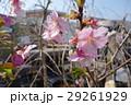 河津桜 かわづざくら  29261929
