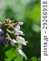 ヒメオドリコソウ 花 アップの写真 29266938