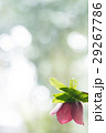 クリスマスローズ 花 ネクタリーの写真 29267786