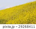 花 春 植物の写真 29268411