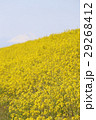 菜の花 29268412