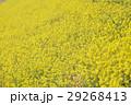 菜の花 29268413