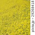花 春 植物の写真 29268418