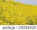 菜の花 29268420