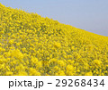 菜の花 29268434