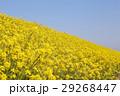 花 春 植物の写真 29268447