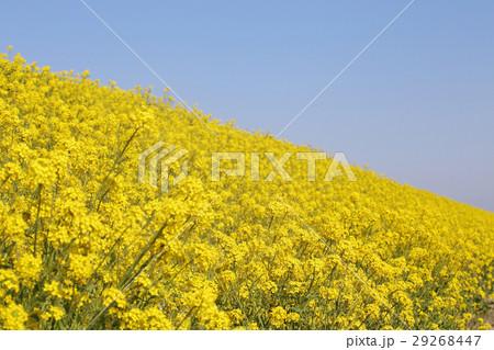 菜の花 29268447