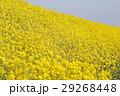菜の花 29268448