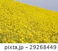 花 春 植物の写真 29268449