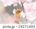 河津桜とメジロ 29271403