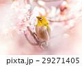 河津桜とメジロ 29271405
