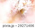 河津桜とメジロ 29271406