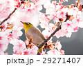 河津桜とメジロ 29271407