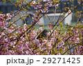 桜とヒヨドリ 29271425