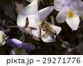 ビオラ 花 パンジーの写真 29271776