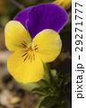 ビオラ パンジー 紫色の写真 29271777