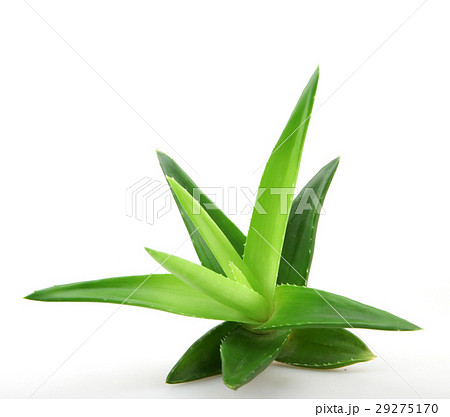 Aloe vera plant 29275170