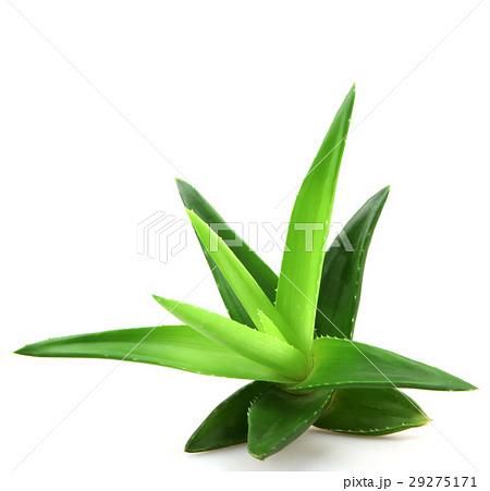 Aloe vera plant 29275171