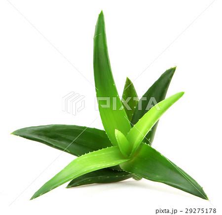 Aloe vera plant 29275178