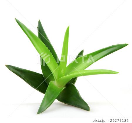 Aloe vera plant 29275182