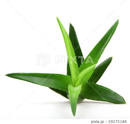 Aloe vera plant 29275186