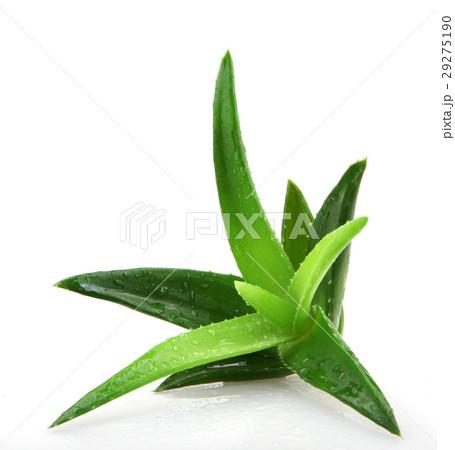 Aloe vera plant 29275190