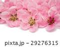花 桜 サクラの写真 29276315