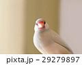 シルバー文鳥のメス 29279897