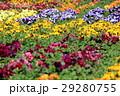 パンジー花壇 29280755