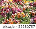 パンジー花壇 29280757