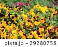 パンジー花壇 29280758