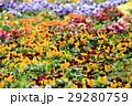 パンジー花壇 29280759