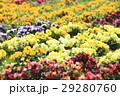 パンジー花壇 29280760