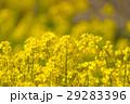 菜の花畑 29283396
