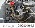 竹富島で出会った、かわいい水牛 29284948