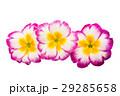 Primrose flower isolated 29285658
