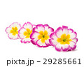 Primrose flower isolated 29285661