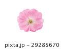 花 さくら 桜の写真 29285670