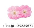 花 さくら 桜の写真 29285671