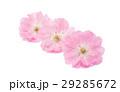 花 さくら サクラの写真 29285672