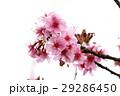 桜 さくら サクラの写真 29286450