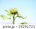 向日葵 太陽花 花蕾 29291721