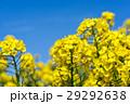 【神奈川県】菜の花畑 29292638