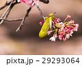 寒桜 花 桜の写真 29293064