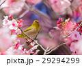 寒桜 花 桜の写真 29294299