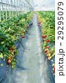 イチゴ狩り 29295079