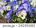 満開のカラフルなビオラの花 29295085