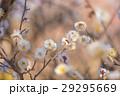 梅の花 29295669